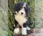 Puppy 2 Bernedoodle