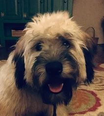 Soft Coated Wheaten Terrier Puppy For Sale in JACKSON, OH, USA