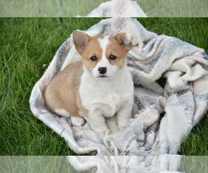 Pembroke Welsh Corgi Puppy for sale in WELLMAN, IA, USA