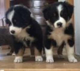 Australian Shepherd Puppy for sale in WEST TISBURY, MA, USA