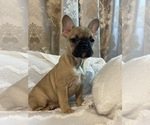 Small Photo #10 French Bulldog Puppy For Sale in JACKSONVILLE, FL, USA