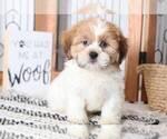 Tanner Male Teddy Bear Puppy