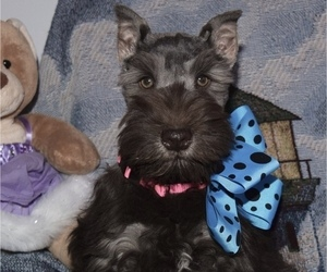 Schnauzer (Miniature) Puppy for sale in CASSVILLE, MO, USA