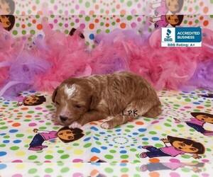 Poodle (Toy) Puppy for sale in WINNSBORO, LA, USA