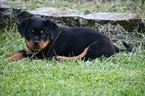 Rottweiler Puppy For Sale in PROSPERITY, South Carolina,