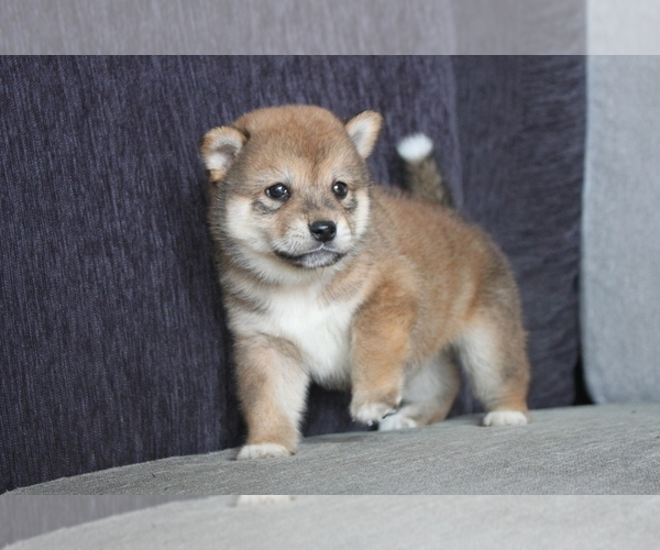 Full screen Photo #1 Shiba Inu Puppy For Sale in MIAMI, FL, USA