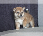 Small Photo #1 Shiba Inu Puppy For Sale in MIAMI, FL, USA