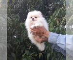Small #25 Pomeranian