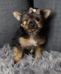 Adorable Morkie Babies Ready to go