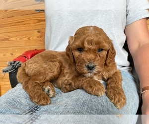 Goldendoodle Puppy for Sale in BERLIN, New Jersey USA
