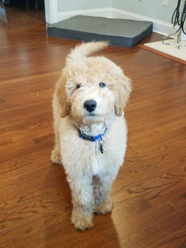 Goldendoodle (Miniature) puppy