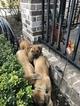 Boerboel Puppy For Sale near 37208, Nashville, TN, USA
