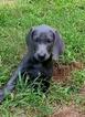 Weimaraner Puppy For Sale in WILLIAMSON, Georgia,