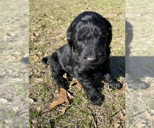 Labradoodle Puppy for Sale in HOCKLEY, Texas USA