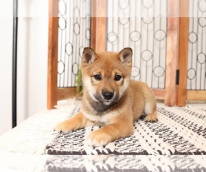 Shiba Inu Puppy for sale in NAPLES, FL, USA