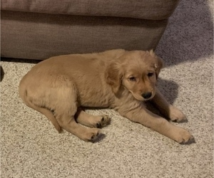 Golden Retriever Puppy for sale in DANIELSON, CT, USA