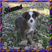 Sienna Toy Red Tri Female Aussie