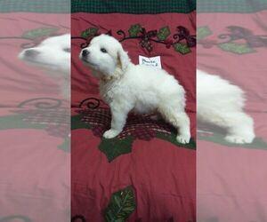 Great Pyrenees Puppy for sale in ALTAVISTA, VA, USA