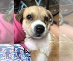 Puppy 6 Beagle-Siberian Husky Mix
