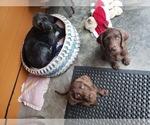 Small #11 Goldendoodle-Labrador Retriever Mix