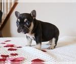 Puppy 3 French Bulldog