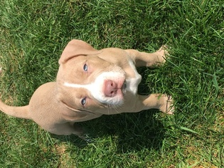 View Ad: American Pit Bull Terrier-American Staffordshire