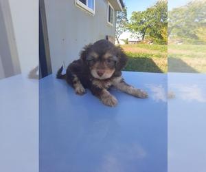 Shih-Poo Puppy for sale in SHIPSHEWANA, IN, USA