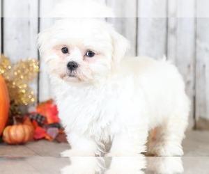 Maltese Puppy for Sale in MOUNT VERNON, Ohio USA