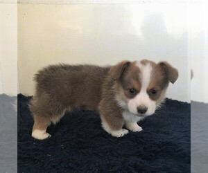 Pembroke Welsh Corgi Puppy for sale in HAVEN, KS, USA
