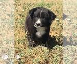 Puppy 2 Border Collie