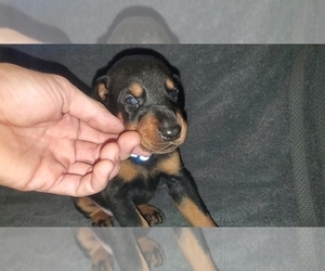 Doberman Pinscher Puppy for sale in ELIZABETHTOWN, IL, USA