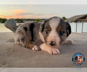 Miniature Australian Shepherd Puppy for Sale in GRANBURY, Texas USA