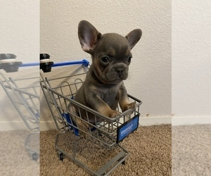 French Bulldog Puppy for Sale in REDMOND, Washington USA
