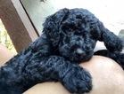 Goldendoodle-Poodle (Standard) Mix Puppy For Sale near 33584, Seffner, FL, USA