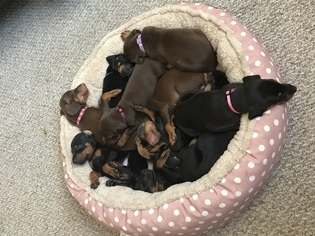 Puppyfinder com: Doberman Pinscher puppies puppies for sale