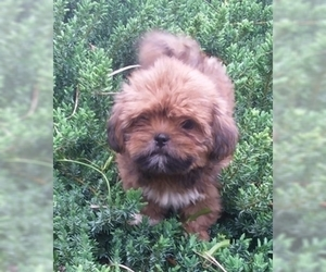 Lhasa Apso Puppy for sale in BELL, FL, USA