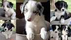 Border Collie Puppy For Sale in OVERLAND PARK, KS, USA