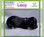 Puppy 4 Havanese