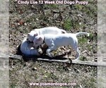 Small Photo #156 Dogo Argentino Puppy For Sale in PINEVILLE, MO, USA