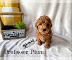 Puppy 7 Goldendoodle-Woodle Mix