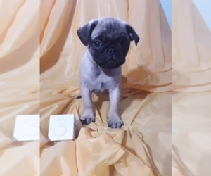 Pug Puppy for sale in SCOTTVILLE, MI, USA
