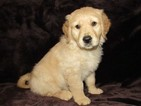 Golden Retriever Puppy For Sale in LYONS, KS,