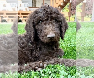Labradoodle-Poodle (Standard) Mix Puppy for Sale in REXBURG, Idaho USA