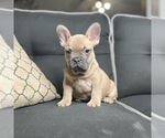 Puppy 4 French Bulldog