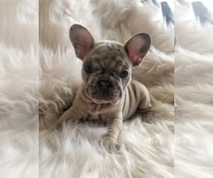 French Bulldog Puppy for sale in ELK GROVE, CA, USA