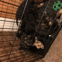 German Shepherd Dog Puppy For Sale in JAMESTOWN, NY, USA