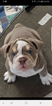 English Bulldog Puppy For Sale in DUNNELLON, FL, USA