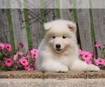 Small Samoyed