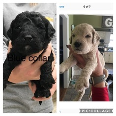 Goldendoodle Puppy for sale in GEORGETOWN, TN, USA