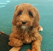 Labradoodle Puppy For Sale in ANDOVER, MN, USA